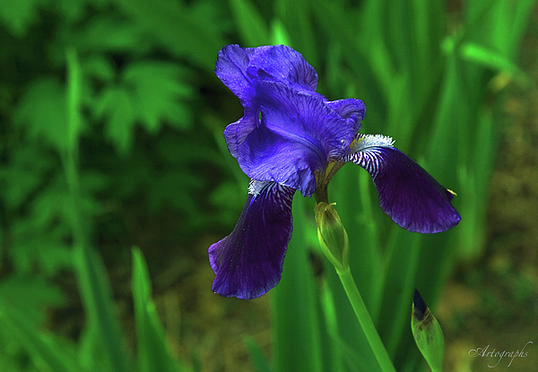 Iris Photograph - First Iris by Artographs Fine Art