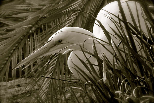 Egret Photograph - Fisherman by Amy Strong