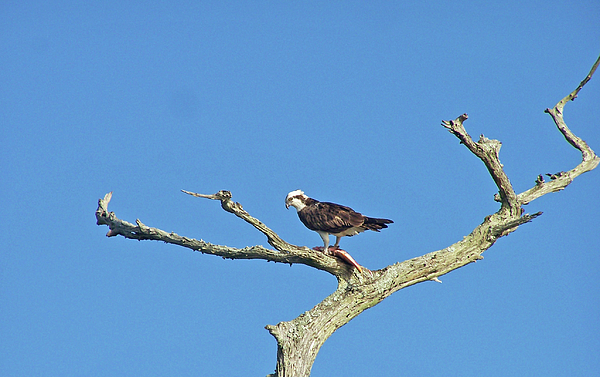 Eagle Photograph - Fishing From The Sky by Cheryl Allin