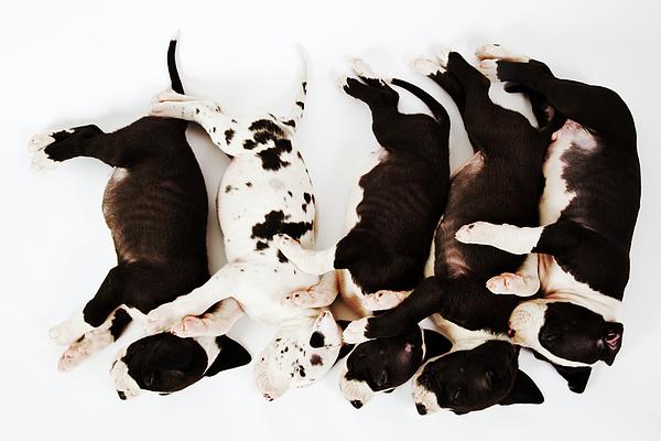 Five Harlequin Great Dane Puppies Sleeping In Row ...