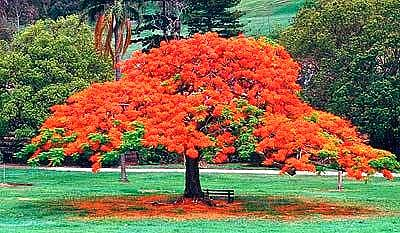 Flame Tree Photograph - Flame Tree by Francis Roberts ll
