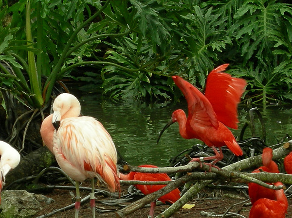Birds Photograph - Flamingo And Scarlet Ibis by Carol Turner