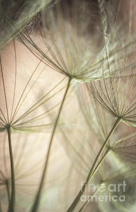 Close Up Photograph - Flamingo Dandelions by Iris Greenwell