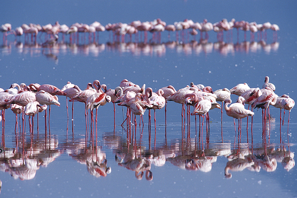 Flamingo Reflection Photograph - Flamingo Reflection - Lake Nakuru by Sandra Bronstein