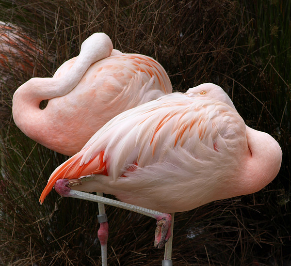 Flamingo Photograph - Flamingo Siesta by Laura Allenby