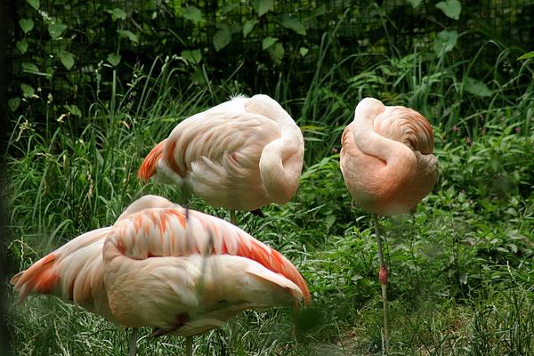 Bird Photograph - Flamingos At Rest by ShadowWalker RavenEyes Dibler