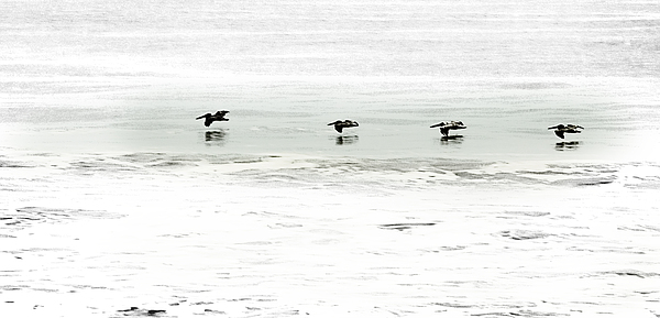 Pelican Photograph - Flight - Sea Of Cortez by Clyde Replogle