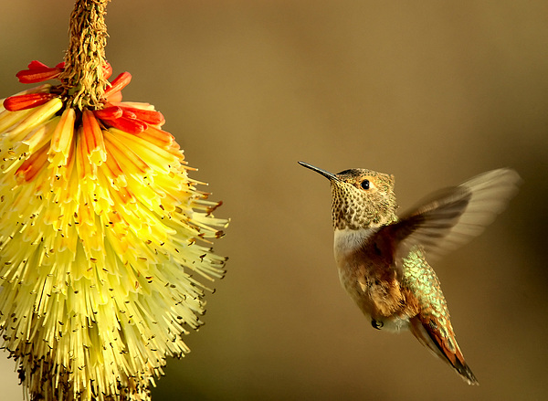 Hummingbird Photograph - Flight Of The Hummer by Mike  Dawson