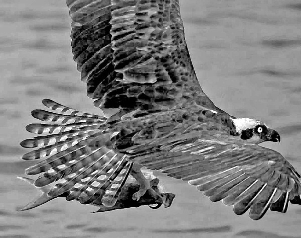 Pelican Photograph - Flight Of The Osprey Bw by Michael Thomas
