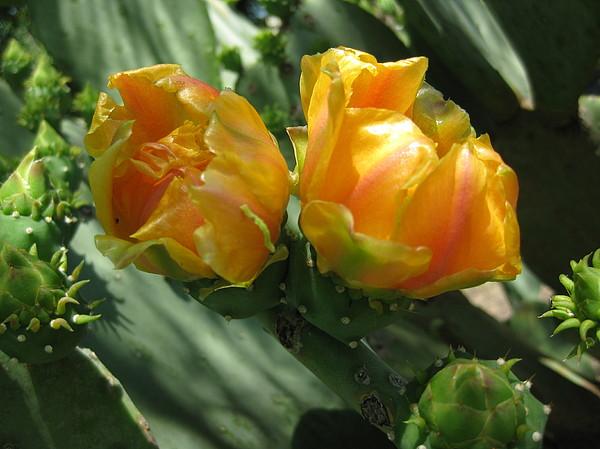 Flores De Cactus Photograph by Diana Moya