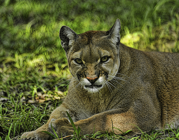 Panther Photograph - Florida Panther Agitated by Keith Lovejoy