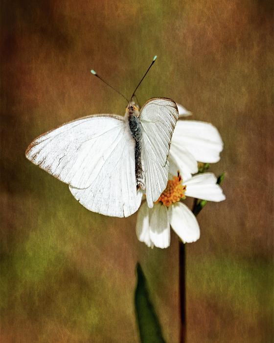 Ascia Monuste Photograph - Florida White by Dawn Currie