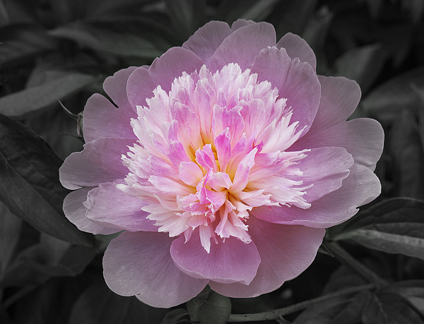 Peony Photograph - Flowering Spring Peony In Pink And Grey by Garth Glazier