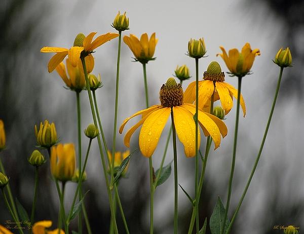 Robert Meanor - Flowers in the rain