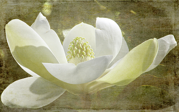 HH Photography of Florida - Flowers - Sweet Magnolia