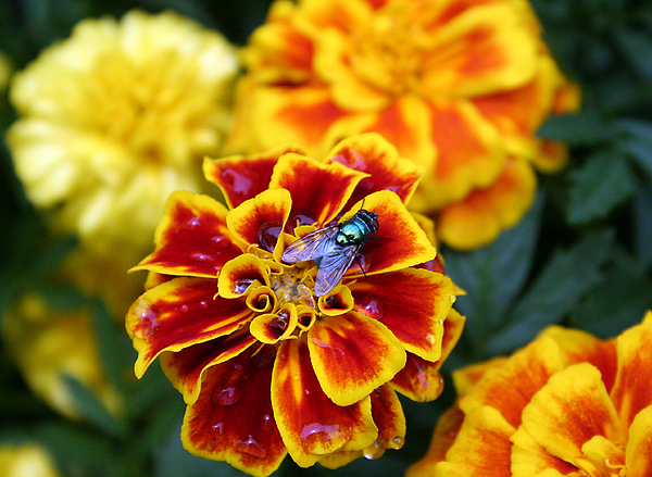 Flower Photograph - Fly On Fire by Dustin Lynch