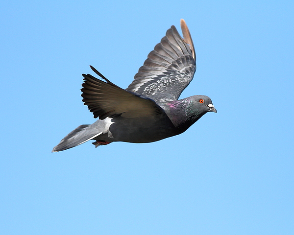 Flying pigeon 7d8640 photograph by wingsdomain art and photography bird photograph flying pigeon 7d8640 by wingsdomain art and photography bookmarktalkfo Images