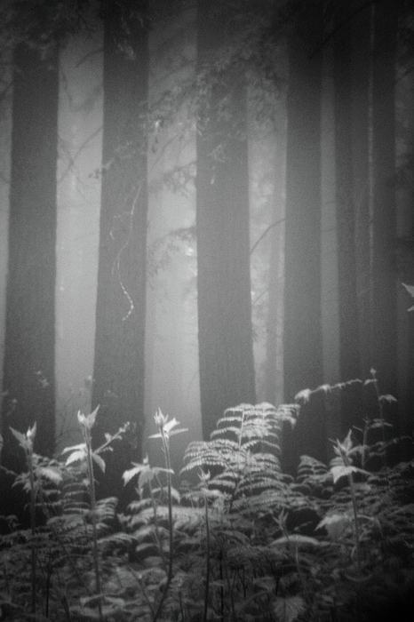 Vertical Photograph - Fog And Ferns In Redwoods Forest by Cathy Clark aka CLCsPics