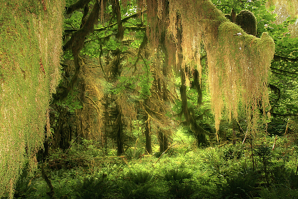 Quinault Rain Forest Photograph - Forest Fantasy - Quinault - Gateway To Paradise On The Olympic Peninsula Wa by Christine Till
