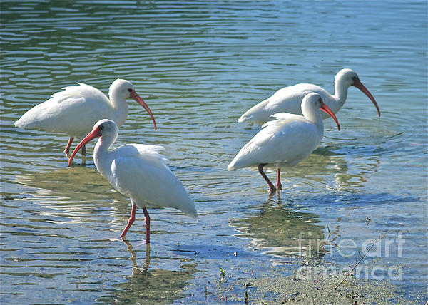 Ibis Photograph - Four Ibises by Carol Groenen