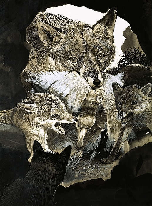 Fox Painting - Fox Delivering Food To Its Cubs  by English School