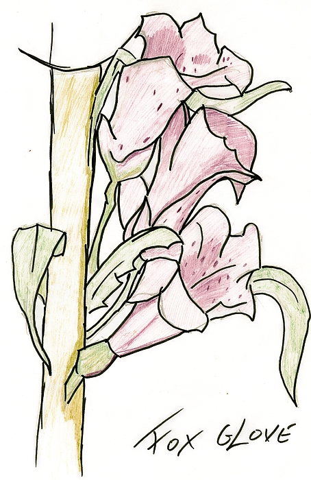 Coloured Drawing - Foxglove by Andrew Davies