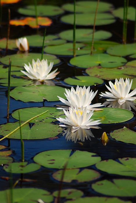 White Water Lily Photograph - Fragrant Water Lily by Christine Savino