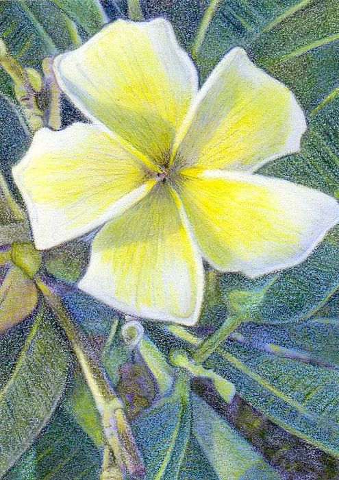 Floral Painting - Frangipani Aceo by Bonnie Haversat