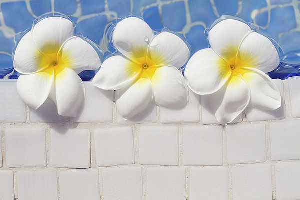 Horizontal Photograph - Frangipani Flowers by Laura Leyshon