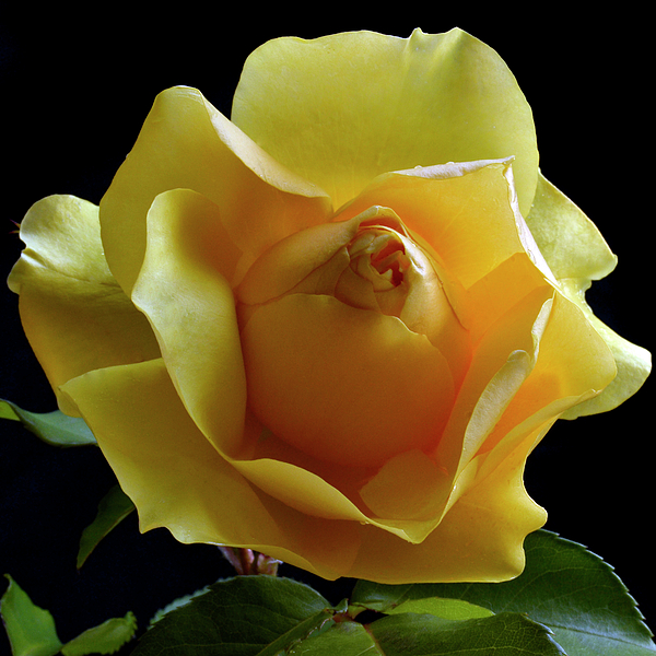 Yellow Rose Photograph - Freedom Rose by Terence Davis