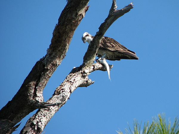 Osprey Photograph - Friend In Paradise by Libby  Cagle