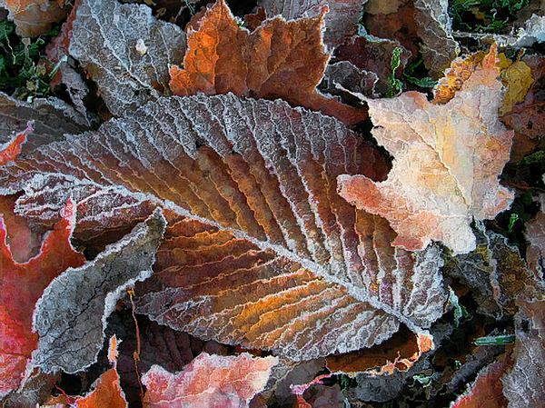 Frosted Painted Leaves Photograph by Shari Jardina