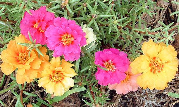 Flowers Photograph - Garden Flowers by Barbara Oberholtzer
