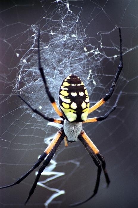 Garden Spider Photograph - Garden Spider by Bob Guthridge