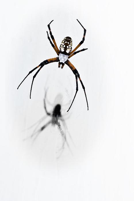 Garden Spider Photograph - Garden Spider With Shadow by Tamyra Ayles