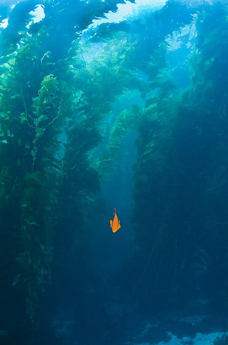 Animals In The Wild Photograph - Garibaldi Fish In Giant Kelp Underwater by James Forte