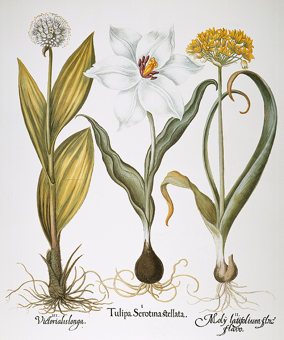 Basilius Photograph - Garlic, 1613 by Granger