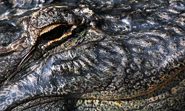 Gator Photograph - Gator Eye by Karol Livote