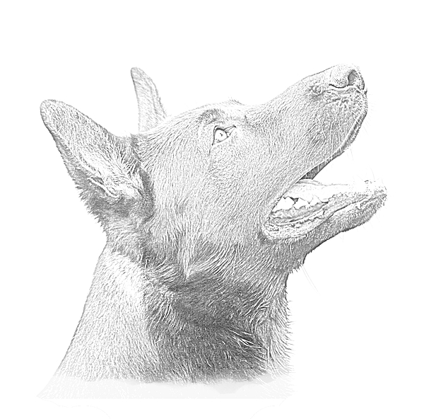 Dog Drawing - German Shepherd Profile by Christean Ramage