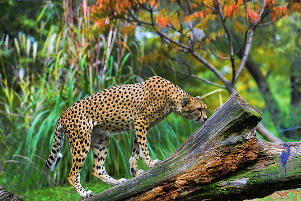 Cheetah Photograph - Getting The Scent by Keith Lovejoy