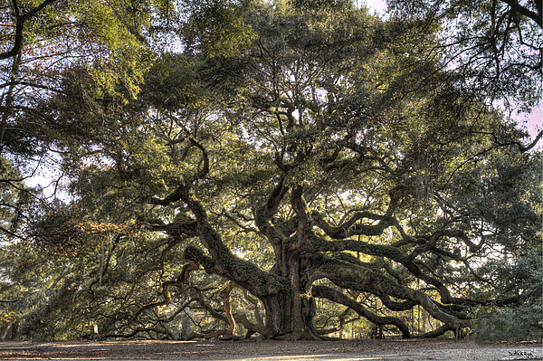 Giant Angel Oak Tree Charleston Sc Photograph by Dustin K Ryan