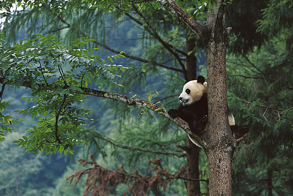 Mp Photograph - Giant Panda Ailuropoda Melanoleuca by Cyril Ruoso