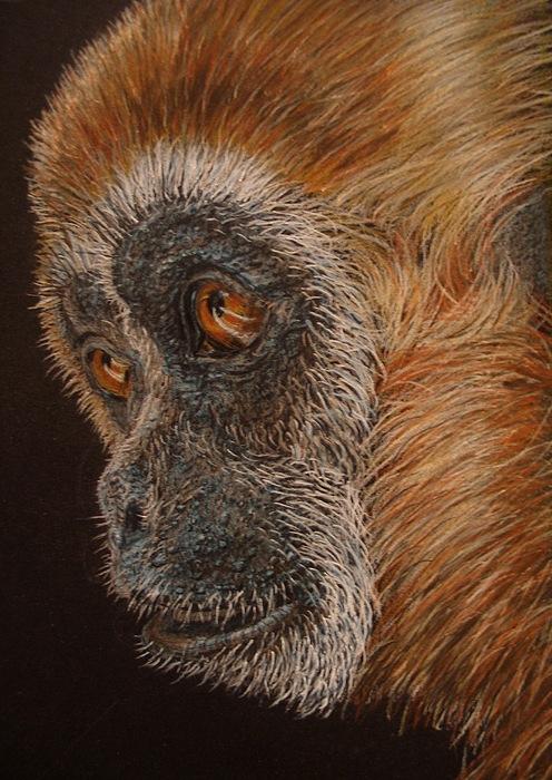 Animals Drawing - Gibbon by Karen Ilari