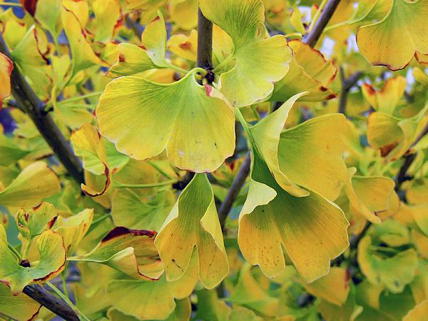 Ginkgo Biloba Photograph - Ginkgo Gold by Pamela Patch