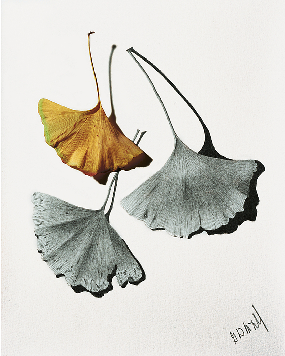 ginkgo leaves art fine art america