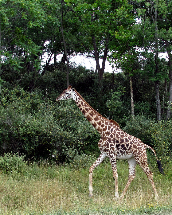 Giraffe Photograph - Giraffe 2 by George Jones