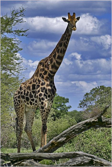 Giraffe Photograph - Giraffe by Mario De Matos