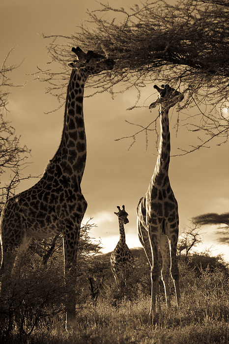 Giraffa Camelopardalis Photograph - Giraffe Stretch Their Necks To Reach by Ralph Lee Hopkins