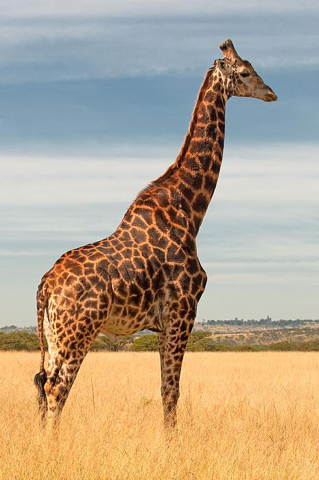 Grass Photograph - Giraffe by Vanessa Kauffmann