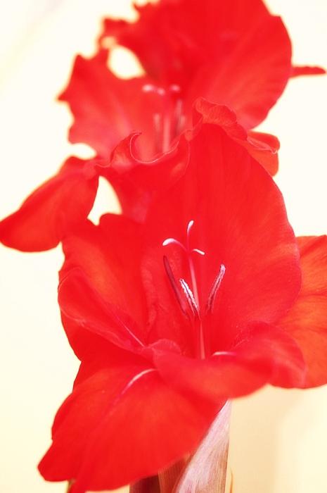 Gladiolas Photograph - Gladiola Stem by Cathie Tyler